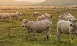 Lehmä unessa: Unien tulkinta